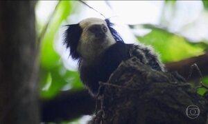 Macacos morrem na floresta do ES: suspeita de febre amarela