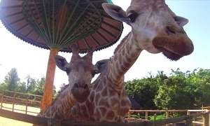 Olha a fofura! Girafa dá à luz filhote de 1,90 m em parque de Santa Cantarina