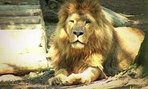 Leões africanos são transportados de Lisboa para zoológico de SC
