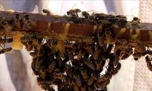Colmeias dão mais mel com abelhas rainhas criadas em laboratório