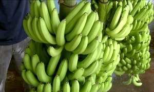 Produtores de banana estão em alerta contra fungo que mata plantações