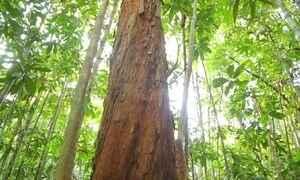 Primeira árvore do pau-brasil continua crescendo após 1500 anos