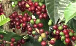 Família produtora de café consegue ótimos preços e produto de qualidade