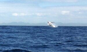 Câmera registra baleias dando saltos na água para tentar se comunicar