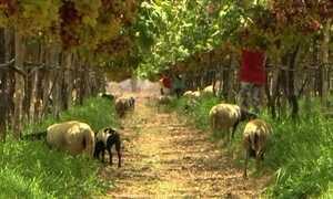 Consórcio de uva com ovelhas aproveita a terra e dá lucros em PE