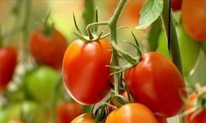 Conheça duas realidades diferentes de cultivo de tomate em MG