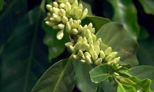 Florada do café enche de beleza e cores as lavouras do grão em MG