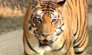 Globo Repórter fica diante do tigre-de-bengala, o rei das florestas asiáticas
