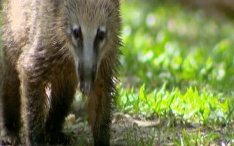 Ameaçado pela redução das florestas, quati pode ser visto de perto nas matas da Serra