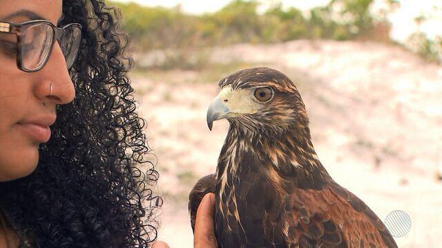 Falcoaria: aves de rapina são treinadas para competições e eventos