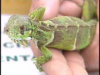 Baby iguana rescued from the Christmas mail in Londrina, Parana Brazil, on Wednesday