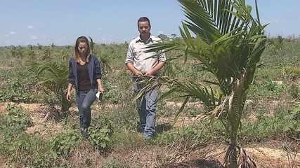 Açaí cultivado no Acre será exportado para países da Ásia