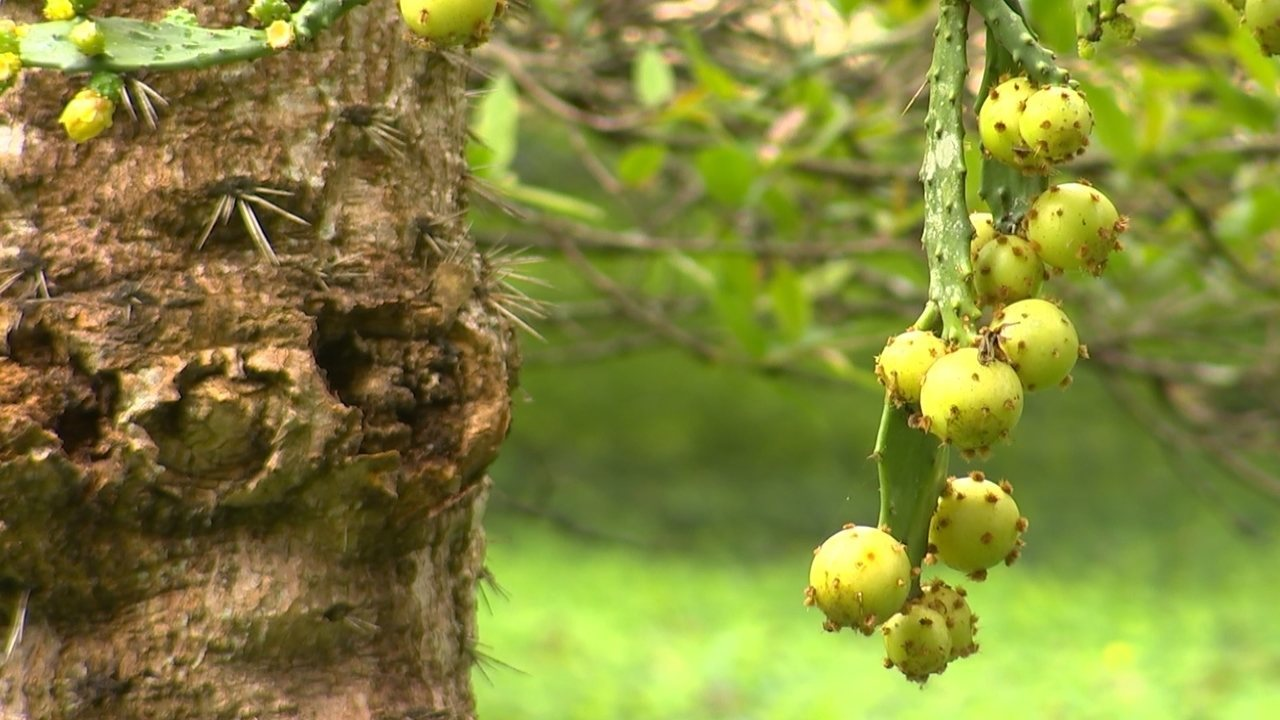 d453f8650da Jovem transforma sítio num pomar de frutas raras - G1 Bauru  Marília -  Nosso Campo - Catálogo de Vídeos