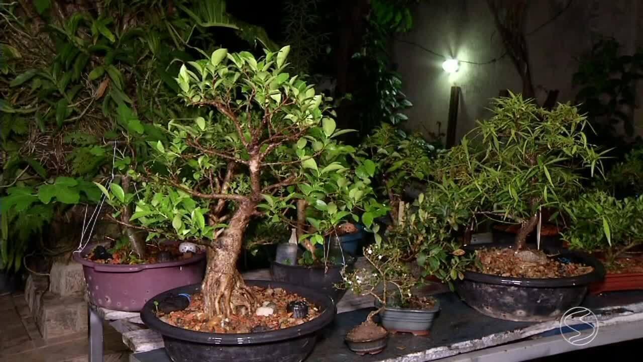 Cultivo de bonsais tem atra do cada vez mais interessados - Cultivo de bonsai ...
