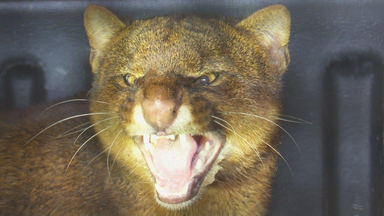 Felino ficou bravo ao ser resgatado em Guajará-Mirim