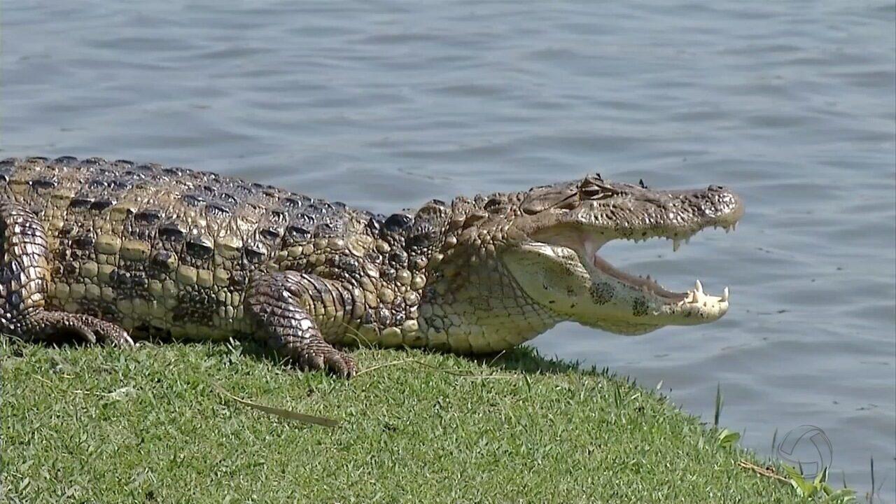 Operação para retirar jacarés da Lagoa Maior, em Três Lagoas, é adiada