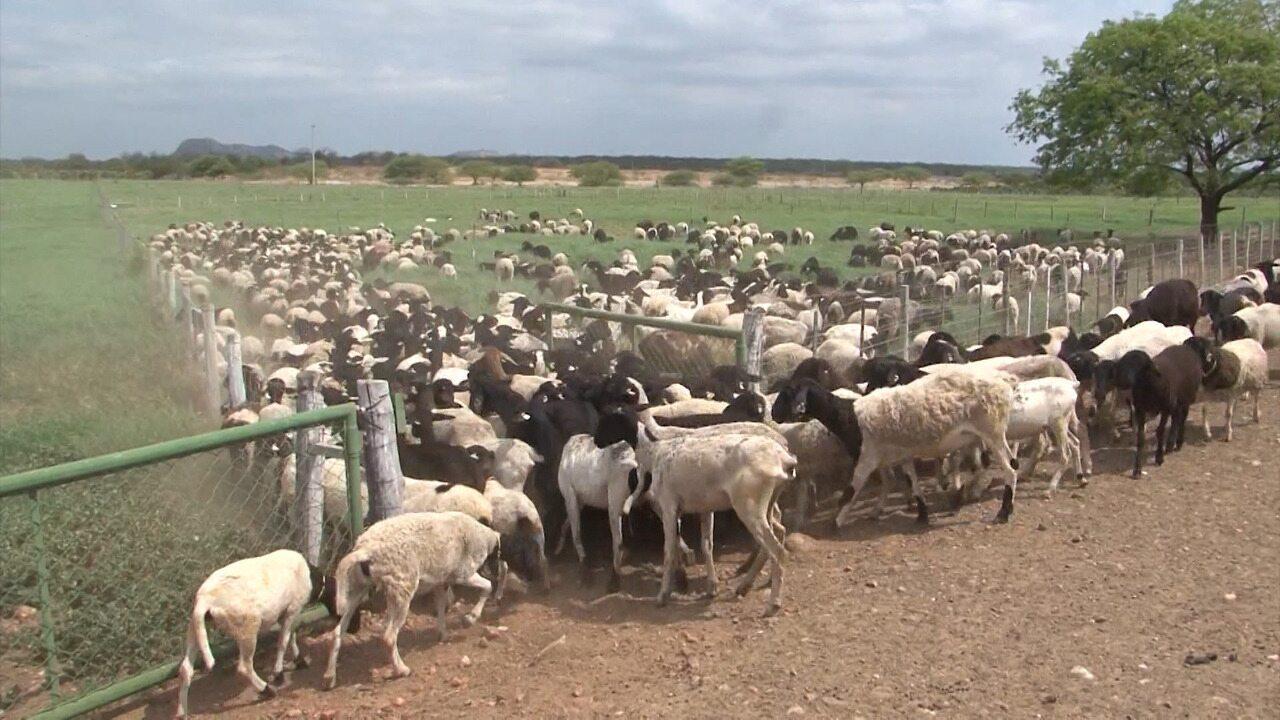 Conheca Uma Fazenda Modelo Na Criacao De Ovinos Que Fica Em Casa