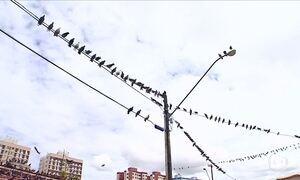 Mulher alimenta pombos e gera transtornos para vizinhos em Aracaju