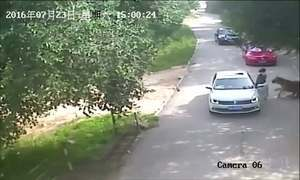 Duas turistas foram atacadas por tigres num parque de vida selvagem em Pequim