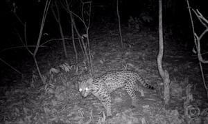 Dono de sítio instala câmera de segurança e flagra invasão de animais em São Paulo