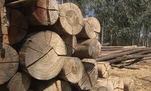 Saiba qual é o melhor mercado para a venda de eucalipto