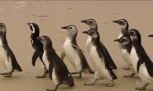 Pinguins são devolvidos ao mar em Florianópolis