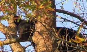 Urso fica preso em árvore nos Estados Unidos