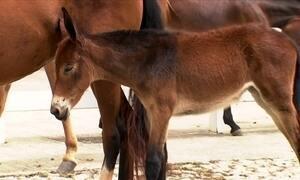 Sexagem de sêmen ainda não é possível para equinos