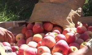 Agricultores devem colher mais de 500 mil toneladas de maçã em SC