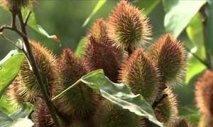 Pólen da planta Nim pode intoxicar abelhas
