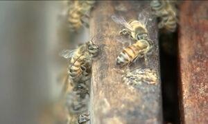 Soro contra veneno de abelha é testado em humanos, em SP