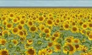 Maior campo de girassóis do Brasil, em Mato Grosso, está florido