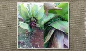 Frutos da bananeira ornamental não são comestíveis