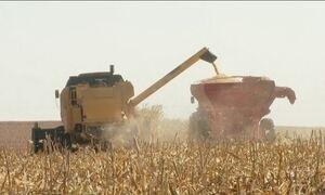 Na maior colheita da história, milho safrinha é o produto da vez