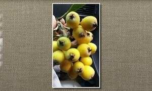 Fruto da nêspera ou ameixa-amarela é doce e levemente ácido