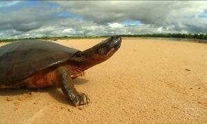 Nível do Rio Araguaia sobe e milhares de filhotes de tartarugas morrem