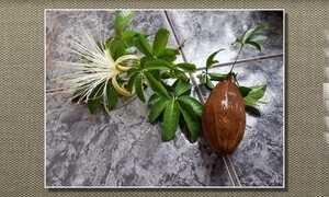 Fruto da monguba deve abrir naturalmente