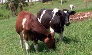 Leptospirose no gado pode ser evitada e tratada, veterinária explica