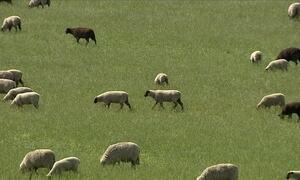 Braquiária não é recomendada para ovelhas