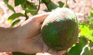 O abacate está com a casca feia. O que fazer?