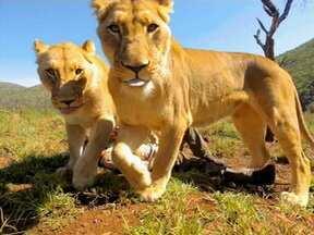 Encantador de leões encara momento tenso - Ao lado de animais selvagens tudo pode acontecer. Veja no vídeo o desfecho dessa história