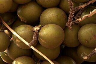 Conheça a bocaiuva, fruta típica de Mato Grosso do Sul - Conheça a bocaiuva, fruta típica de Mato Grosso do Sul