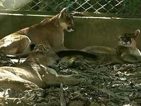 Fazenda em Goiás se torna refúgio para felinos que não conseguem mais sobreviver sozinhos - Uma fazenda em Goiás virou um refúgio para os felinos que não conseguem mais sobreviver sozinhos na natureza. O projeto abriga cerca de 30 animais.