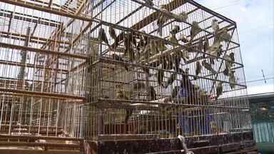 Duas mil aves silvestres são apreendidas numa casa no bairro da Estância, no Recife - De acordo com a polícia, os donos da casa vinham sendo investigados há seis meses. Os pássaros de várias espécies, como papa-capim, azulão e galo de campina, eram trazidos do Sertão de Pernambuco. Alguns morreram por não resistir aos maus-tratos.