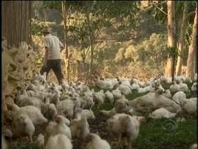 União Brasileira de Avicultura entende que o setor vive uma das piores crises da história - União Brasileira de Avicultura entende que o setor vive uma das piores crises da história