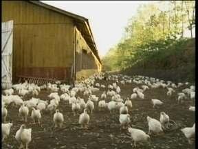 Sem ração para suas aves, produtor é obrigado a soltá-las para que busquem comida sozinhas - Medidas extremas foram tomadas por produtores nesta semana.