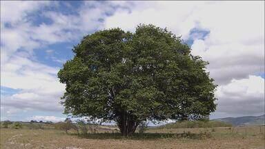 1º Bloco: Umbuzeiro, juazeiro e aroeira, as árvores que Gonzagão cantou - Nos sítios do interior do Nordeste, conheça importantes trabalhos de preservação dessas espécies.