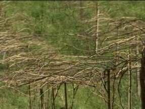 Agricultor começa a podar videiras com duas semanas de antecedência em Chapecó, SC - Calor é a causa da antecipação.