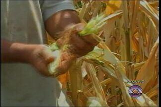 Começa o plantio de milho na região - A área cultivada nesse ano deve ser semelhante à safra passada