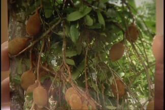 Pé de cupuaçu dá 54 frutos em um único galho - O agrônomo e consultor do Globo Rural, Chukichi Kurozawa, explica como isso aconteceu.